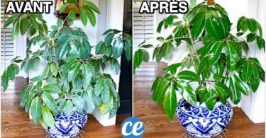 Plante Verte Qui Jaunit ? L'Ingrédient Miracle Pour La Raviver
