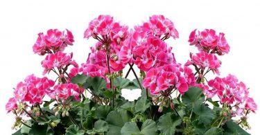 Géranium : 3 engrais naturels pour une floraison généreuse